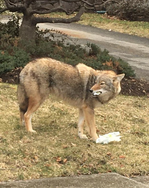 Coyote in Hometown (2)